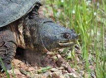 Tartaruga de agarramento, serpentina do chelydra Imagem de Stock