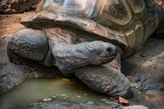 Tartaruga de Aldabra ciente foto de stock
