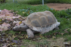 Tartaruga de Aldabra - tartaruga Foto de Stock Royalty Free