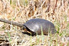 Tartaruga de Blandings (blandingii de Emydoidea) Fotografia de Stock