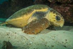 Tartaruga de boba Fotos de Stock Royalty Free