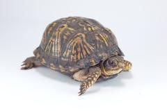 Tartaruga de caixa Fotos de Stock Royalty Free