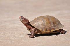 Tartaruga de caixa Fotografia de Stock