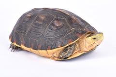 Tartaruga de caixa chinesa, flavomarginata de Cuora Foto de Stock