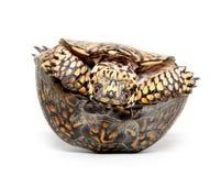 Tartaruga de caixa de cabeça para baixo Imagens de Stock