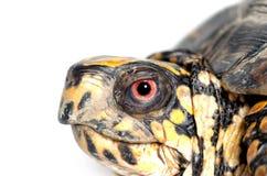 Tartaruga de caixa de cabeça para baixo Imagem de Stock Royalty Free