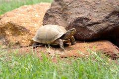 tartaruga de caixa Três-toed, E.U. Fotos de Stock