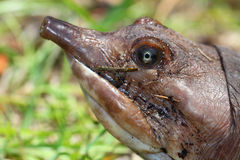 Tartaruga de Florida Softshell (ferox de Apalone) Fotografia de Stock