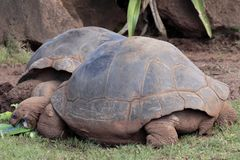 Tartaruga de Galápagos imagem de stock royalty free