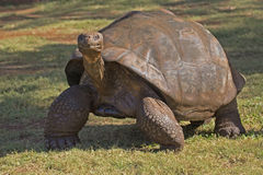 Tartaruga de Galápagos Foto de Stock