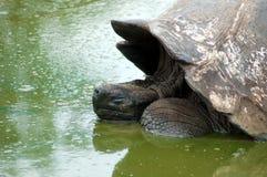 Tartaruga de Galápagos Imagens de Stock Royalty Free