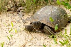 Tartaruga de Gopher Fotografia de Stock
