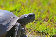 Tartaruga de Gopher de Florida Imagens de Stock