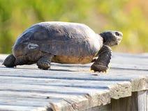 A tartaruga de Gopher mantém um relógio afiado sobre sua paisagem da casa da praia que procura ameaças potenciais imagem de stock