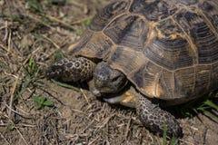 Tartaruga de Gopher na beira de Azerbaijão fotografia de stock
