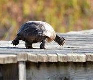 A tartaruga de Gopher parece dançar ao longo do portal sintético de madeira da praia da ilha imagem de stock royalty free