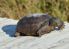 A tartaruga de Gopher toma um breve resto em sua viagem ao longo do passeio à beira mar da praia foto de stock royalty free