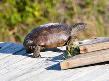 A tartaruga de Gopher vê o ambiente da duna de areia do ponto da vantagem do passeio à beira mar de madeira seis pés acima da are fotografia de stock