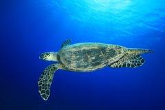 Tartaruga de Hawksbill fotografia de stock