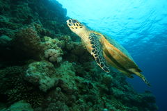 Tartaruga de Hawksbill imagem de stock