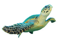 Tartaruga de Hawksbill imagens de stock