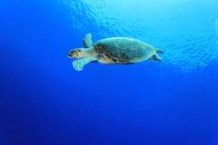 Tartaruga de Hawksbill Imagens de Stock Royalty Free