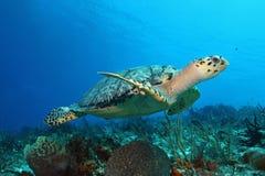 Tartaruga de Hawksbill - Cozumel imagens de stock