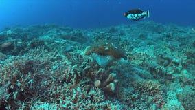 Tartaruga de Hawksbill em um recife de corais 4K video estoque