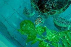 Tartaruga de Hawksbill grande na lagoa fotos de stock royalty free