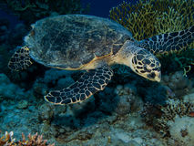 Tartaruga de Hawksbill (imbricata do Eretmochelys) foto de stock royalty free