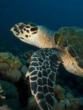 Tartaruga de Hawksbill (imbricata do Eretmochelys) Fotografia de Stock