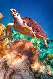 Tartaruga de Hawksbill - imbricata do Eretmochelys Fotos de Stock