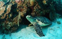 Tartaruga de Hawksbill na parte inferior de mar Imagem de Stock Royalty Free