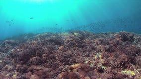 A tartaruga de Hawksbill nada em um recife de corais 4K video estoque
