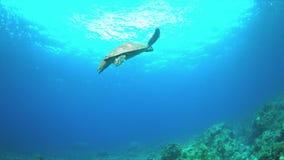 A tartaruga de Hawksbill nada sobre um recife de corais 4K video estoque