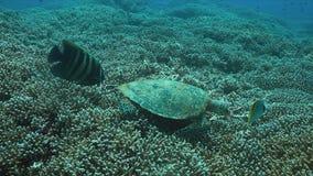 tartaruga de 4k Hawksbill em um recife de corais ao comer video estoque