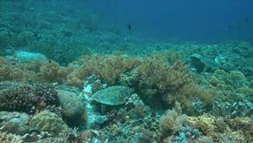 tartaruga de 4k Hawksbill em um recife de corais ao comer vídeos de arquivo
