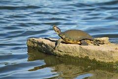 A tartaruga de lama toma sol em uma grande rocha Fotos de Stock