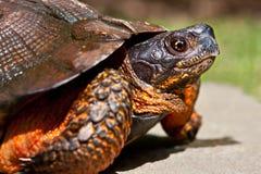 Tartaruga de madeira Imagens de Stock