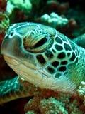 Tartaruga de mar fotografia de stock