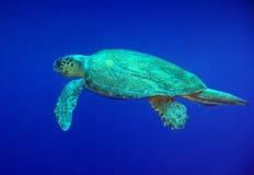 Tartaruga de mar Imagem de Stock Royalty Free