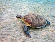 Tartaruga de mar Imagens de Stock