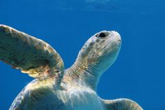 Tartaruga de mar amigável fotografia de stock