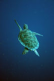 Tartaruga de mar Bonaire Imagem de Stock Royalty Free
