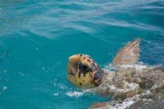 Tartaruga de mar da boba Imagens de Stock Royalty Free