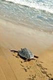Tartaruga de mar da boba (caretta do Caretta) Fotos de Stock