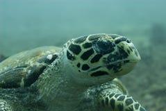 Tartaruga de mar de Hawksbill Fotos de Stock Royalty Free
