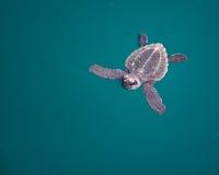 Tartaruga de mar do bebê fotografia de stock royalty free