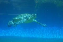 Tartaruga de mar do Leatherback subaquática imagem de stock