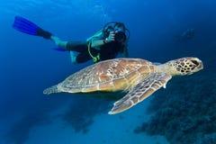 A tartaruga de mar greeen fotografado por um mergulhador em Sean vermelho Imagens de Stock